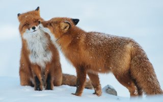 Red Fox Romantic Love Couple Wallpaper HD