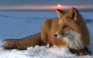 Wallpaper HD Red Fox