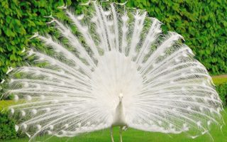 White Peacock Wallpaper HD