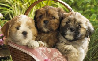 Wallpapers Cute Puppies With Resolution 1920X1080